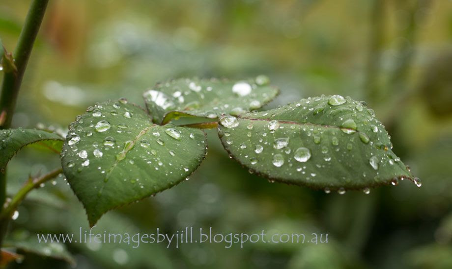 22 September 2014 photo Garden_raindrops_6047-49-sh_zps871325a6.jpg