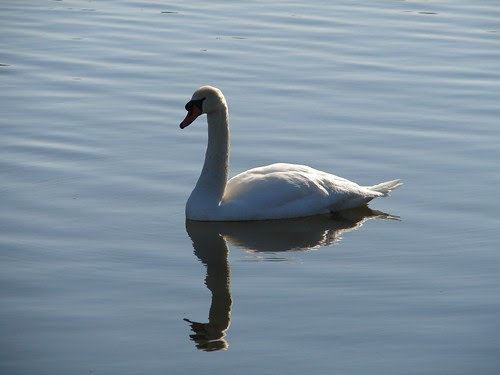 Swan on Hudson