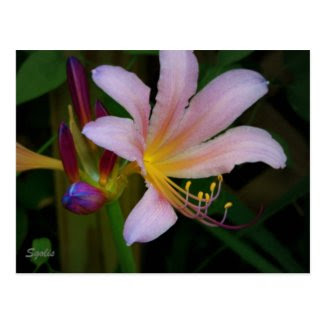Pink Belladonna Lily Bloom Postcard