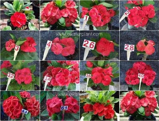 Buy cheap Euphorbia milii Thai hybrids assorted colors for sale.