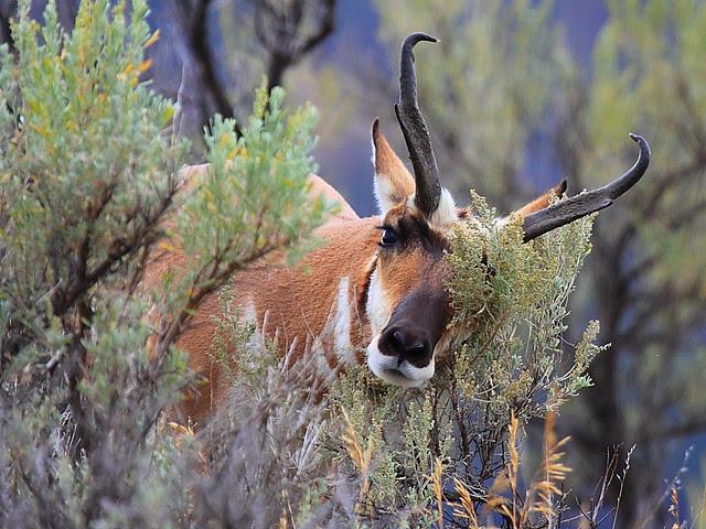 IMG_4941 Pronghorn Buck, Yellowstone National Park