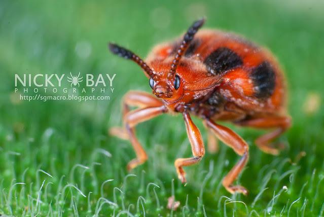 Ladybird Mimic Beetle (Coleoptera) - DSC_2277