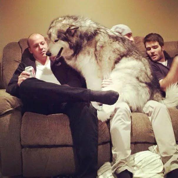 Chien loup le plus gros du monde