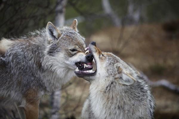 Lobo Mordiendo El Hocico De Otro Lobo 62944