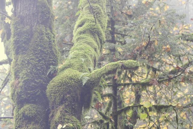 Portland Mossy tree