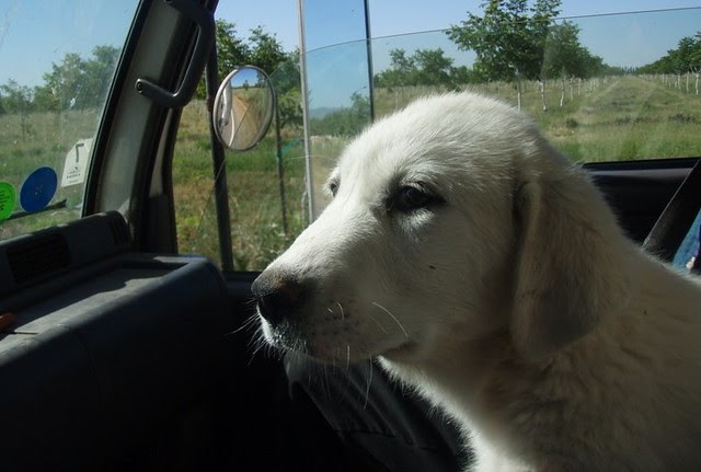 Daisy the guard dog puppy on her way to Eatwell Farm