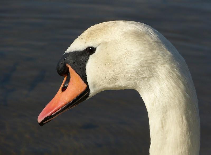 P1040126 - Mute Swan, Kenfig NNR