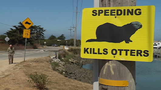 Conservations say Moss Landing otter crossing needs improvement