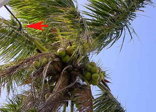 harvesting coconut