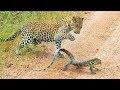 Captan un combate a muerte entre un pequeño leopardo y un lagarto