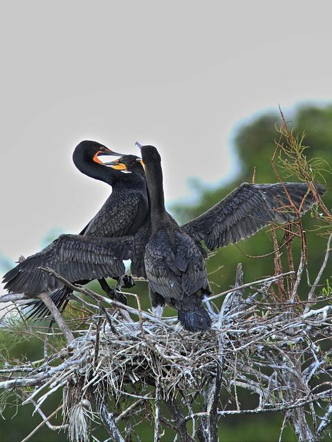 Double-crested Cormorant feeding chicks 03-20131210