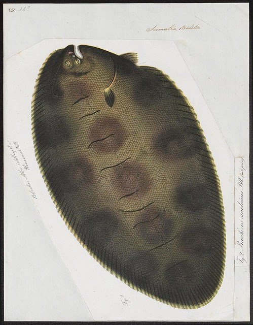 sketch of a sole (fish)