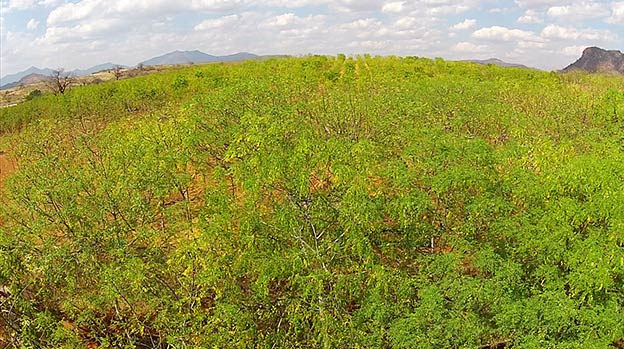 Mukau trees at Better Globe Forestry's plantation, Kiambere Site
