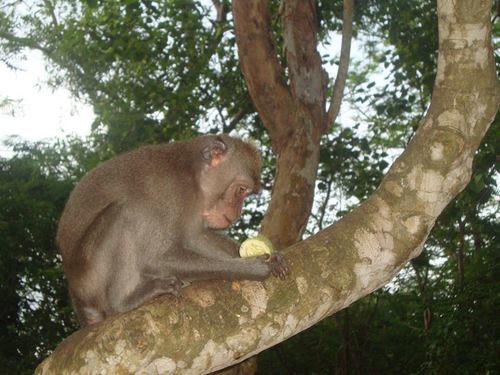 маймунка в Улувату