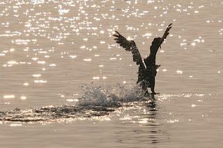 il decollo dall'acqua richiede una lunga e pesante rincorsa