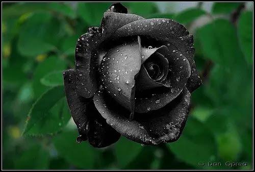Rosa Negra Existe Flores Cultura Mix