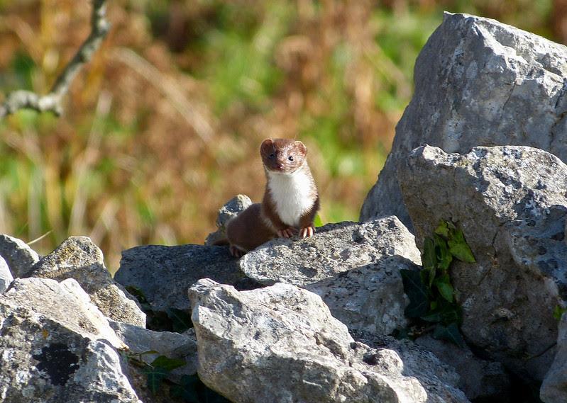 28932 - Weasel, Oxwich Point