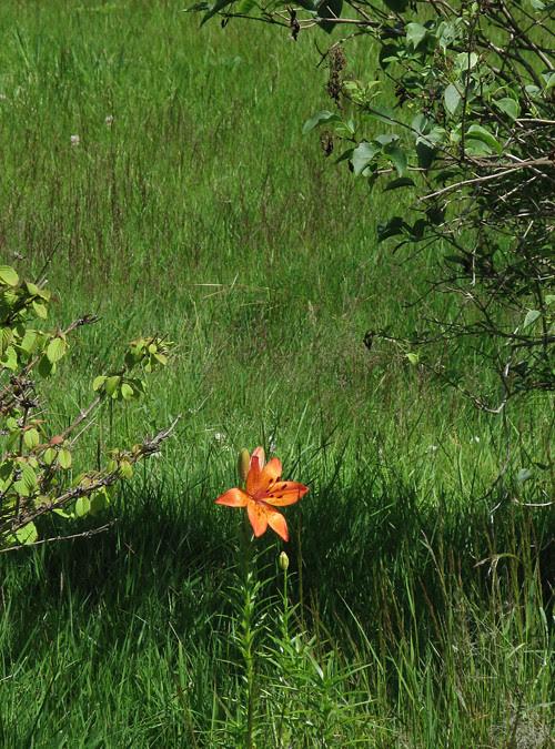 orange flower in my yard, Kasaan, Alaska