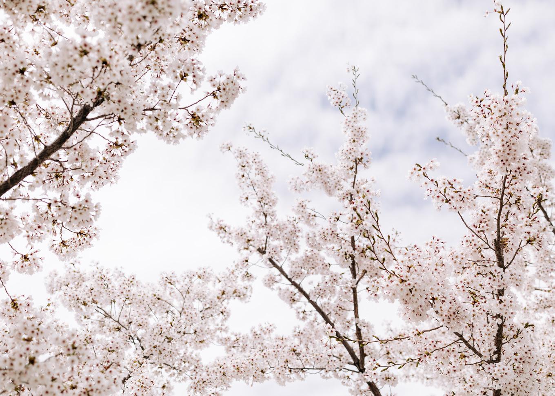 utah cherry blossoms