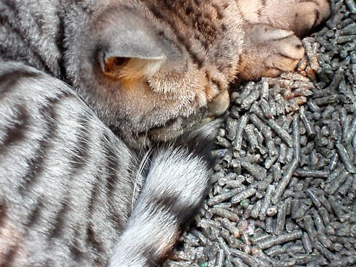 Grey tabby British Shorthair show cat sleeping on grey litter at a cat show