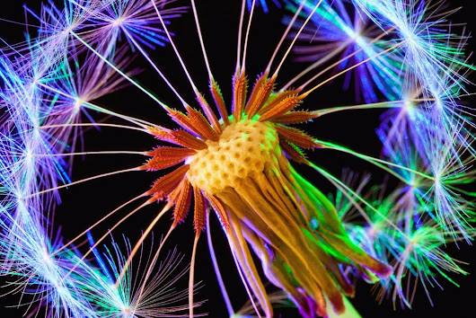 "Details about 18x12"" Rainbow Dandelion Macro Photograph, Rainbow Wednesday LGBT Charity sale"