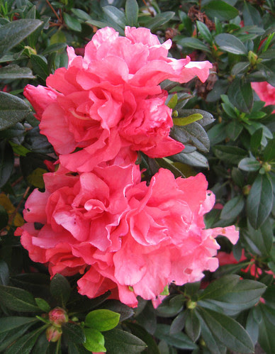 pink Azalea mar13