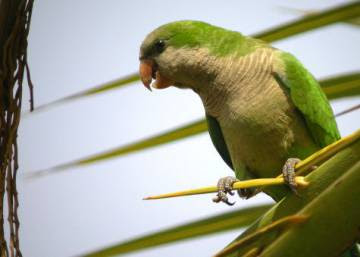 Monk parakeets now seen as a plague in major Spanish cities