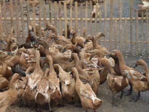 Bebek atau yang juga akrab di sebut dengan itik merupakan unggas yang mempunyai nilai ekon 8 Kendala Dalam Beternak Bebek