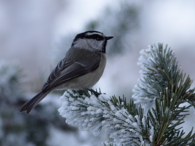 Mountain Chickadee 20111114