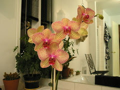Phalaenopsis Baldan's Kaleïdoscope 'Golden Treasure'