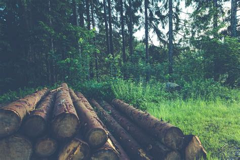 stock photo  chopped wood evening forest