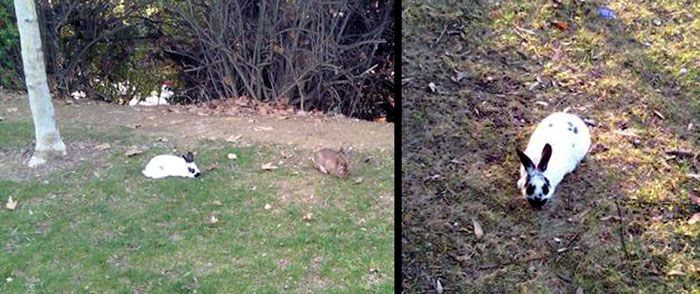 Rabbits (that were abandoned?) at the local park.