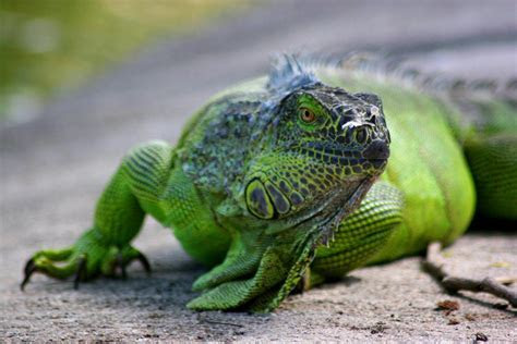 Iguana Wallpapers   Pets Cute and Docile
