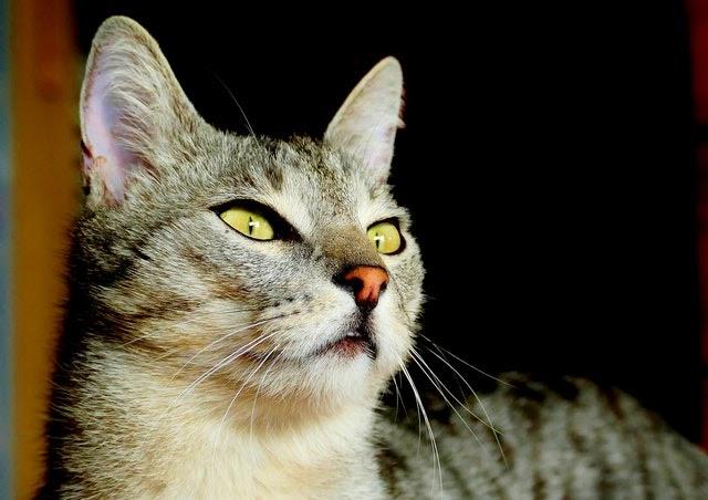 El gato, carnívoro por excelencia, ingiere diariamente más del doble de hidratos de lo que debería