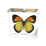 Ed Speldy East BF02 Real Bug Butterfly-Butterfly-Yellow Orange Tip