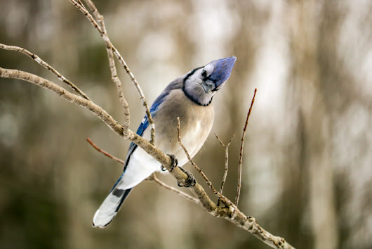 The Brilliant Blue Jay