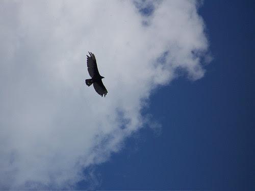 Michigan Raven