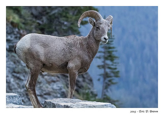 Big Horn Sheep at Logans Pass
