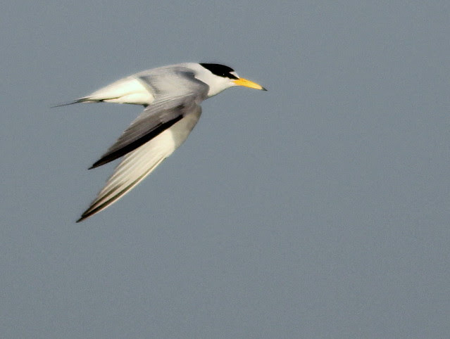Least Tern in-flight 4-20110415
