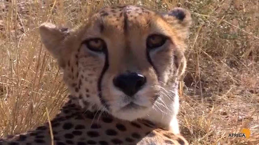 Are Cheetahs More Like a Domestic Cat or Dog? The Answer May Surprise You