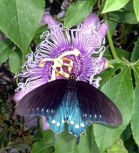 ButterflyBlack1