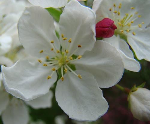floweringcrab_bud
