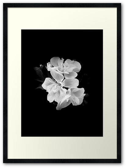 geranium black and white by IOANNA PAPANIKOLAOU