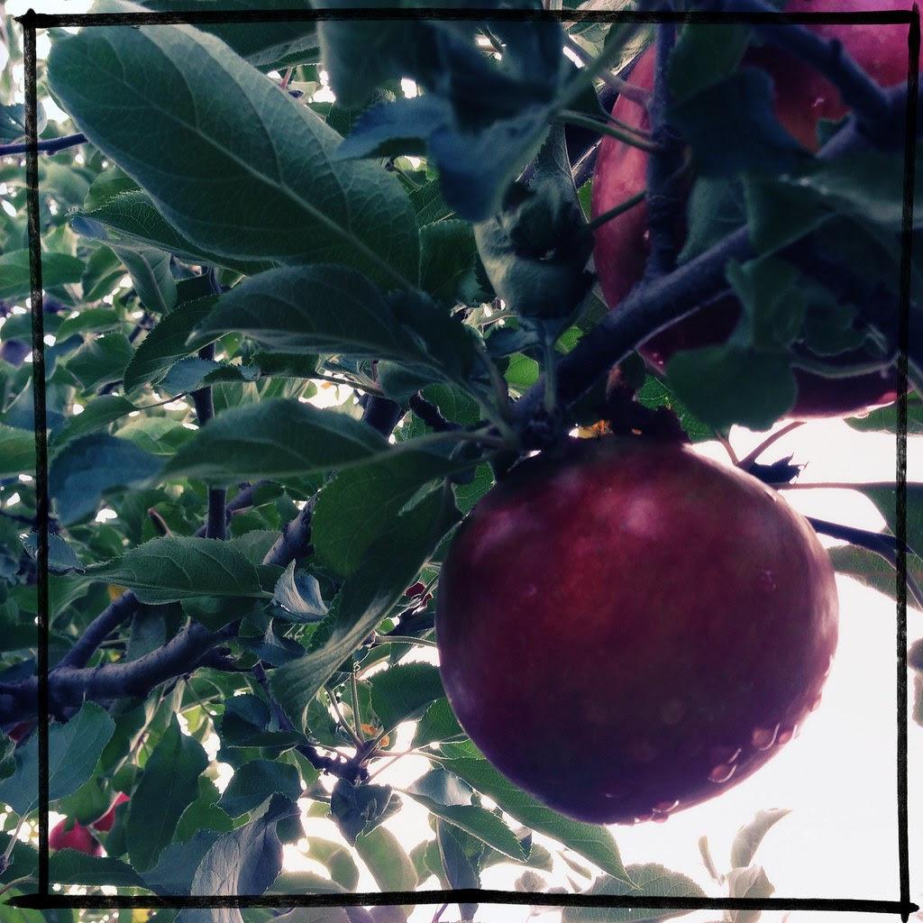 jonagold at hick's orchard