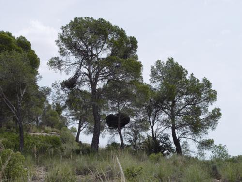 Escoba de brujas en monte Arabí (Yecla, Murcia)_500x375