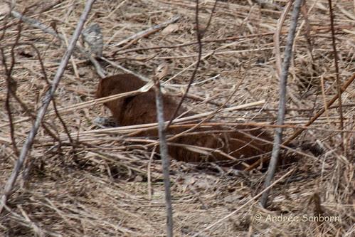 American Mink (Neovison vison) (4 of 5).jpg
