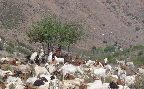 Goats on the Cleveland National Forest nibble on vegetation to defend communities against wildfire by reducing regrowth. (U.S. Forest Service photo)