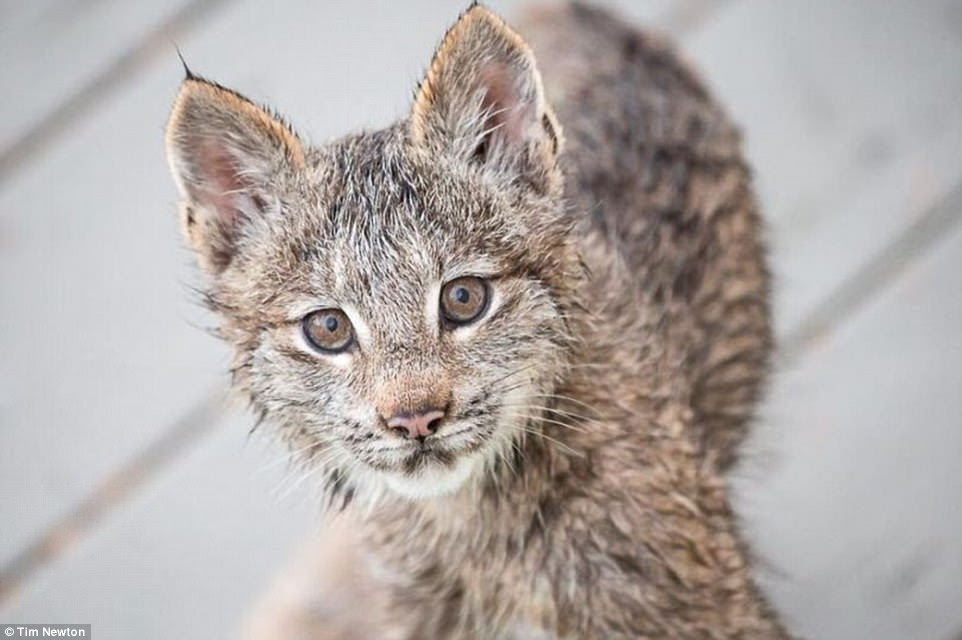 A photographer in Alaska woke up to strange noises at his door and worried his home was being broken into, only to find seven cute lynx kittens and their mother playing on his front porch
