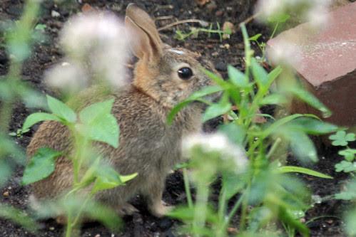 rabbit 054