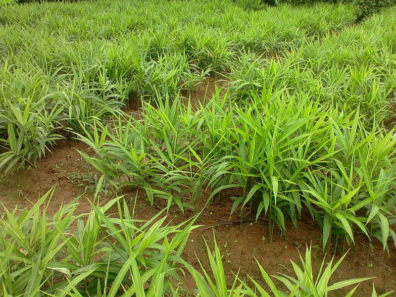 File:Ginger farm.jpg